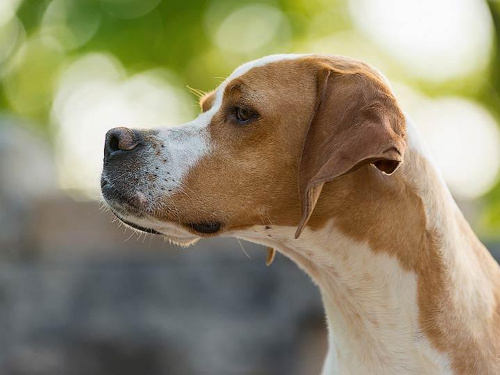 собака английский пойнтер