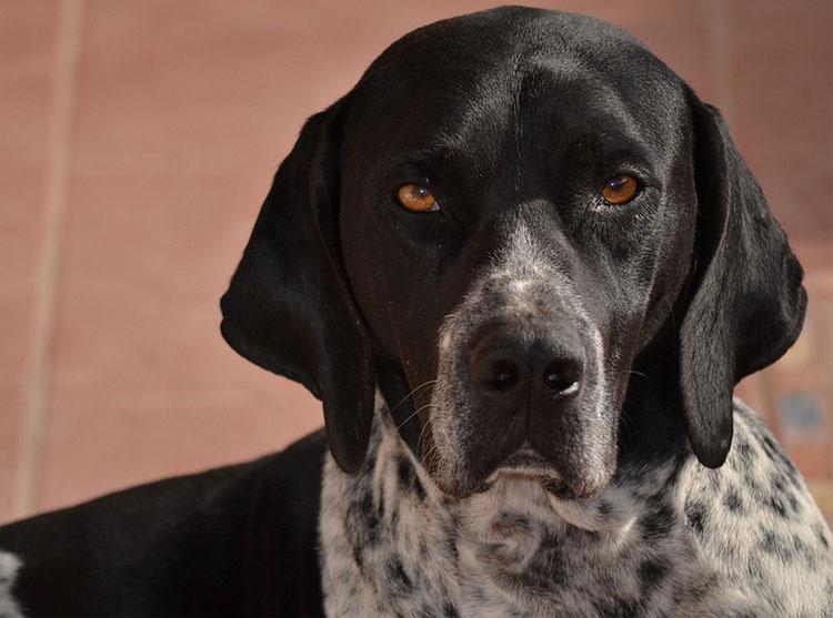 порода собак английский пойнтер