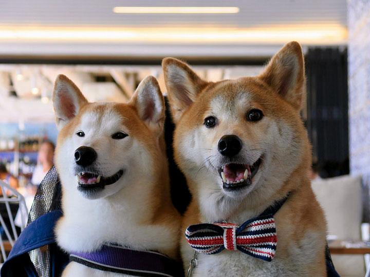 две собаки Сиба ину