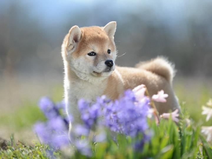 фото щенкасибы ину