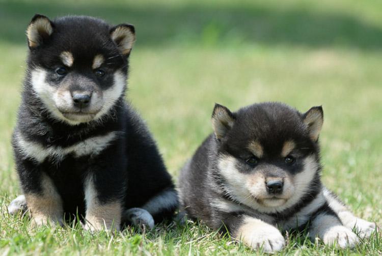 цена щенков сиба ину