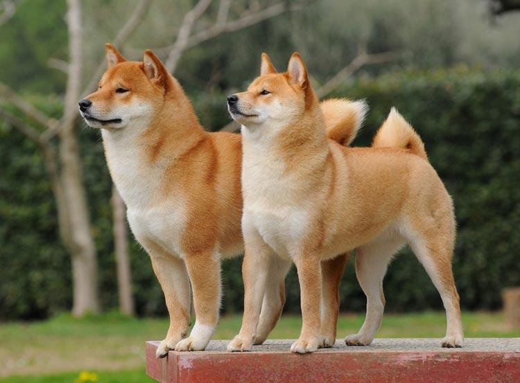 порода собак Сиба ину