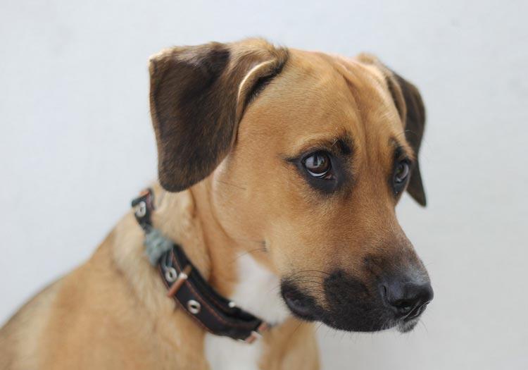 собака порода метис