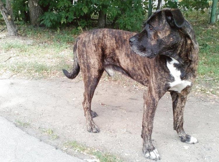 собака метис питбуля
