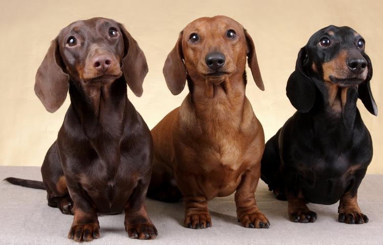 Такса: подробное описание породы собак с фото и видео