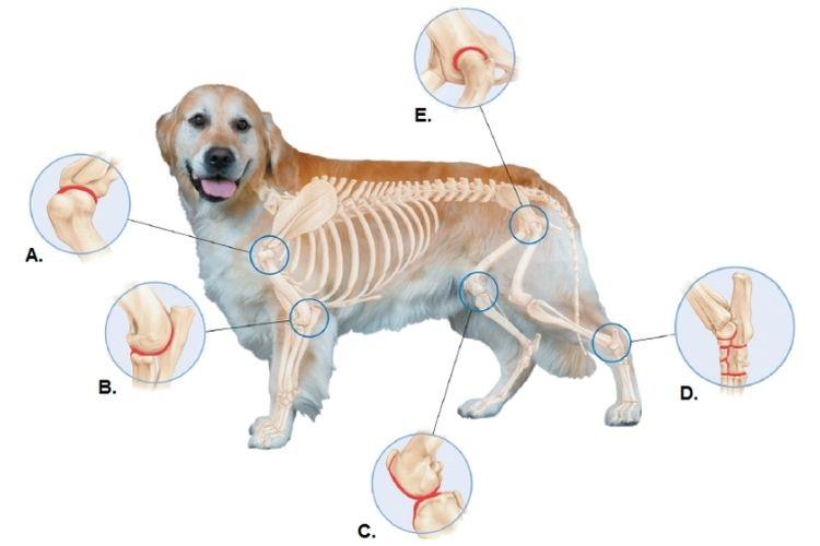 Схематическое изображение суставов собаки