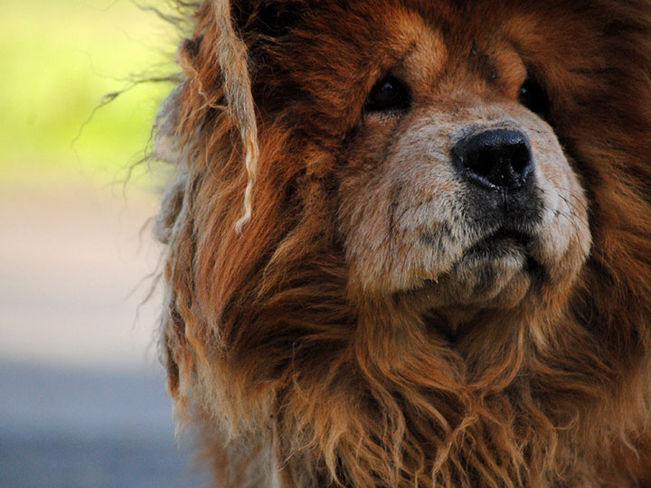 собака породычау-чау
