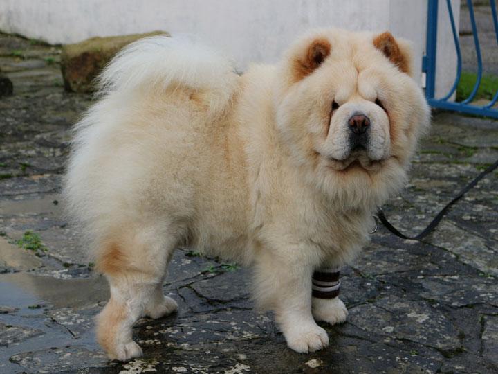 чау-чау собака