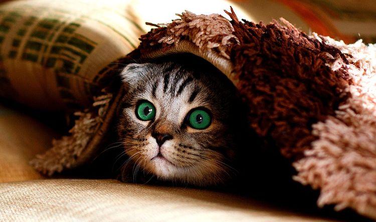 Кот в ковре