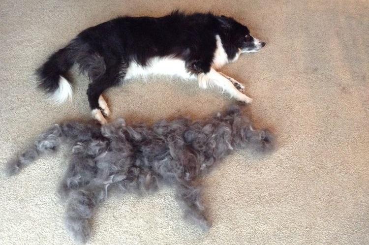 Собака и вычесанная шерсть