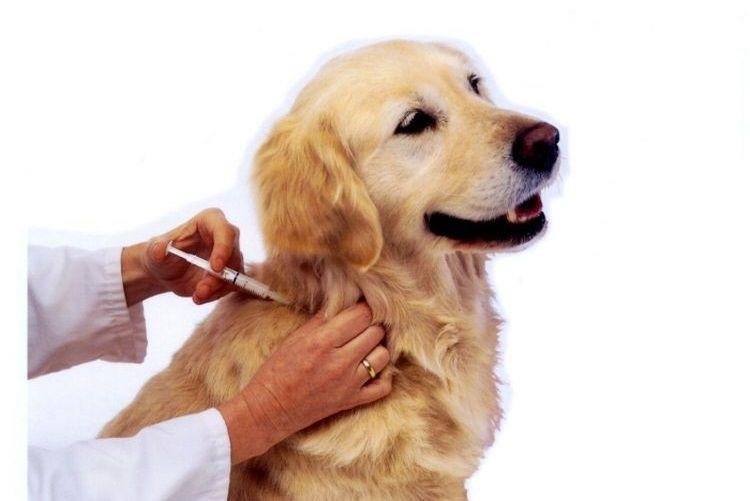 Собаке делают укол в холку