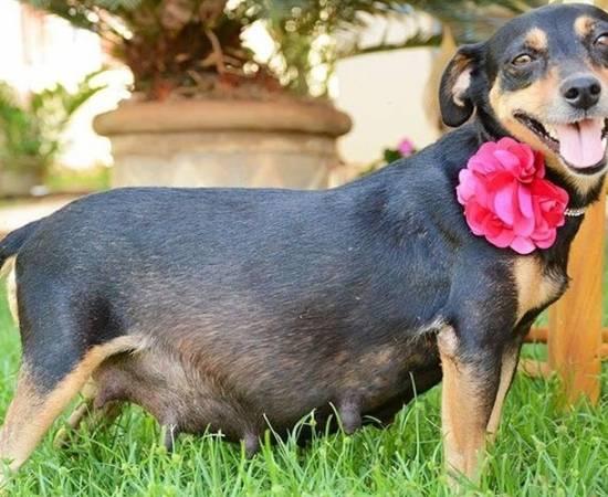 Беременная собака с цветком на шее