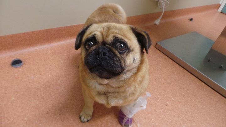 лечение собаки с пиометрой