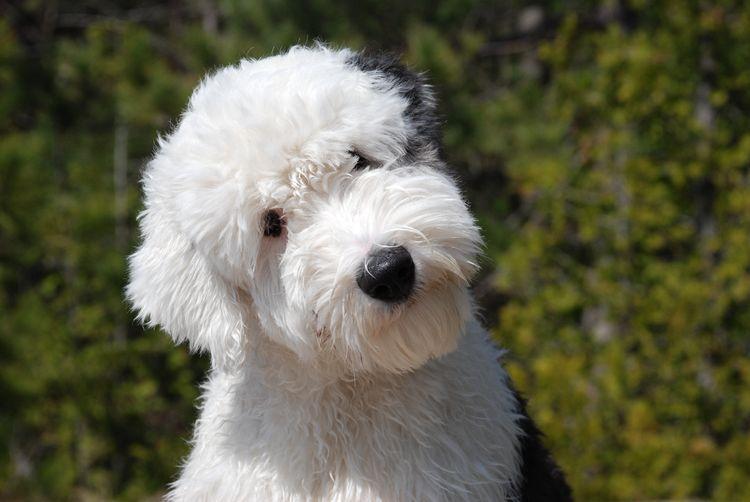 Собака породы бобтейл