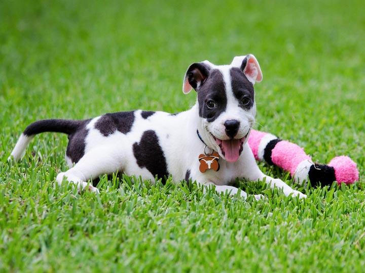 щенок питбуля