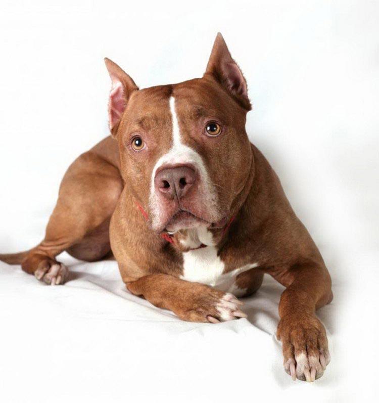 Фото собак американский питбультерьер