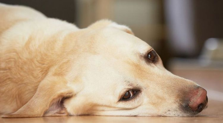 Грустная собака