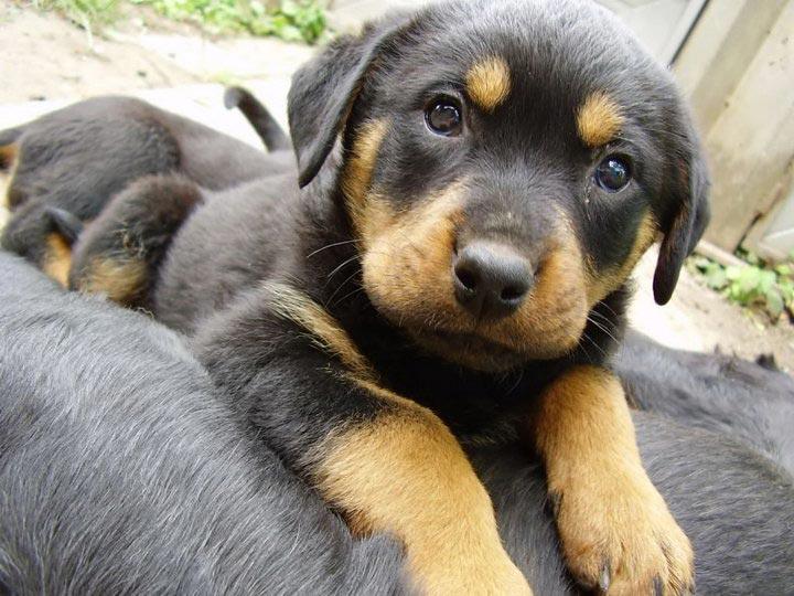 купить щенка ротвейлера