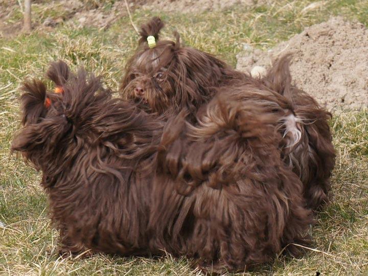 коричневая русская цветная болонка