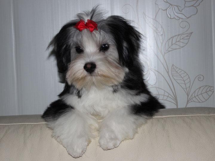 черно-белая русская цветная болонка