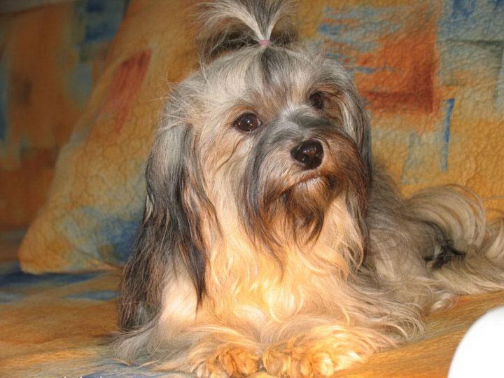 собака русская цветная болонка