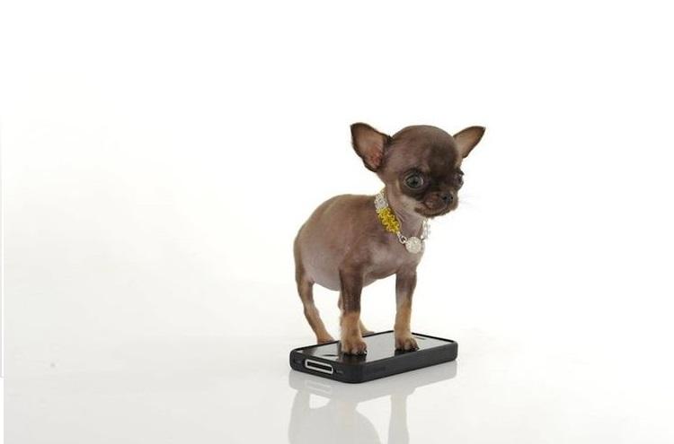 Собачка стоит на мобильном телефоне