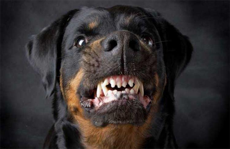 Ротвейлер скалит зубы