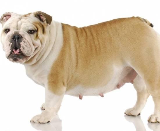 Беременная собака