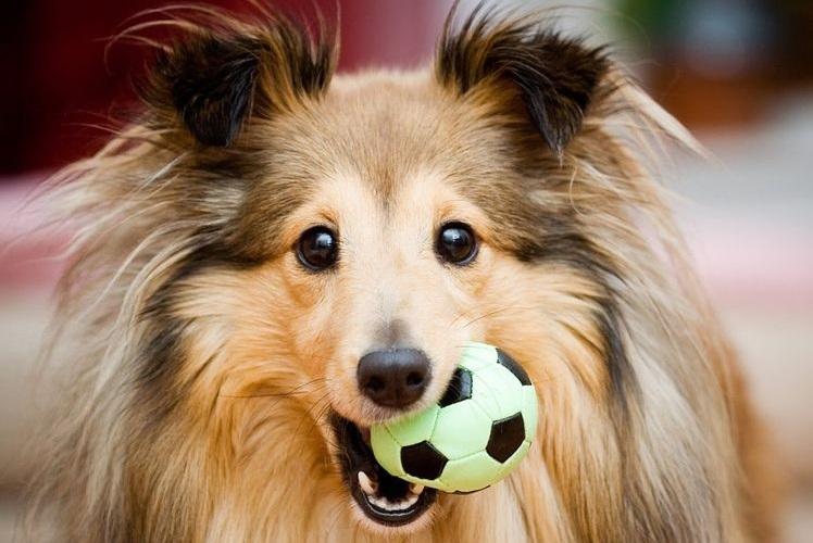 Шелти держит в зубах мячик