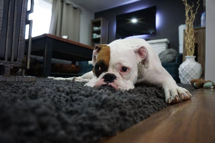 Собака отдыхает на ковре