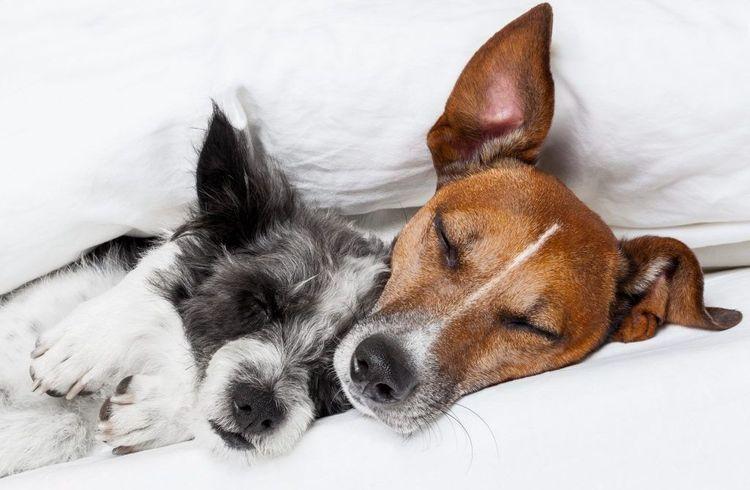 Собаки спят под одеялом