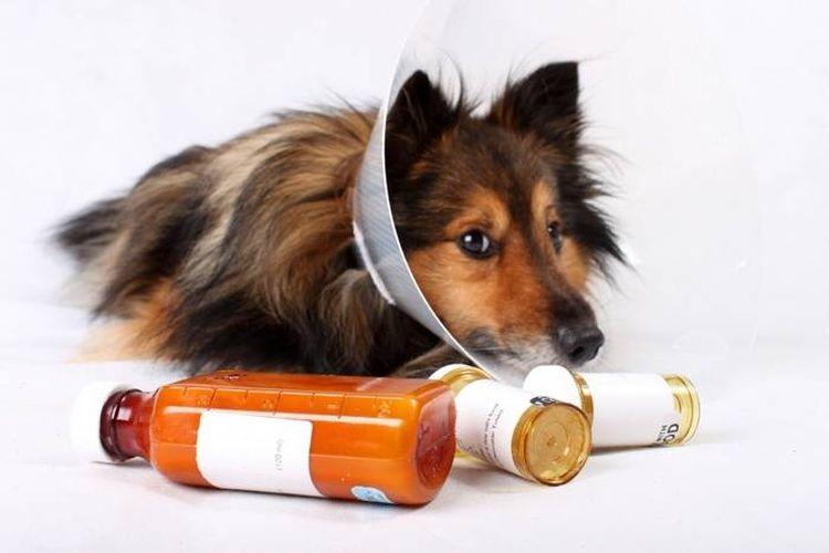 Собака в защитном воротнике