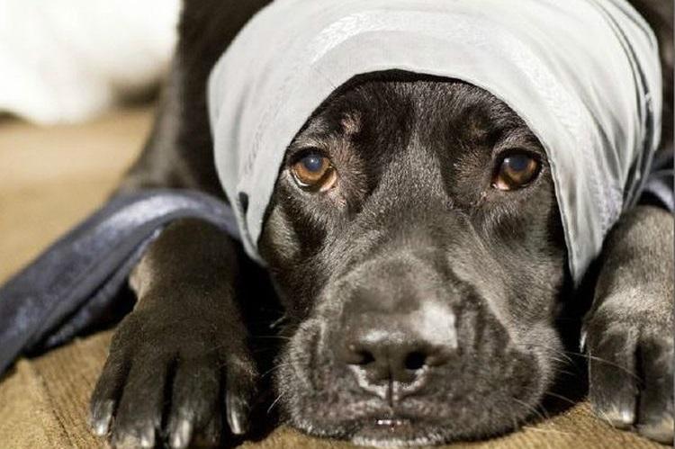 Собака с забинтованной головой