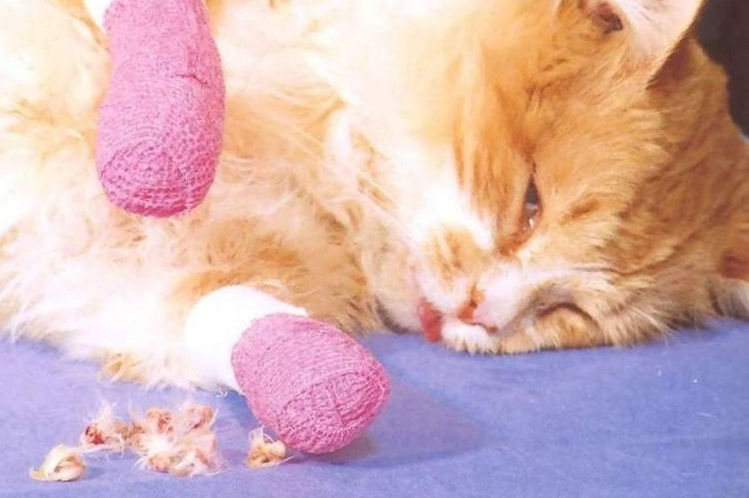 Кот после онихэктомии