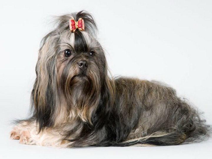 порода собак русская болонка