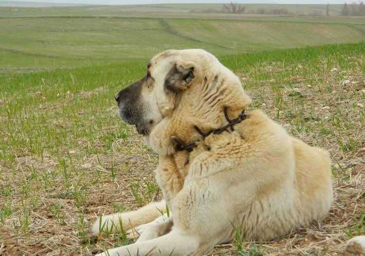 Анатолийская овчарка пастух