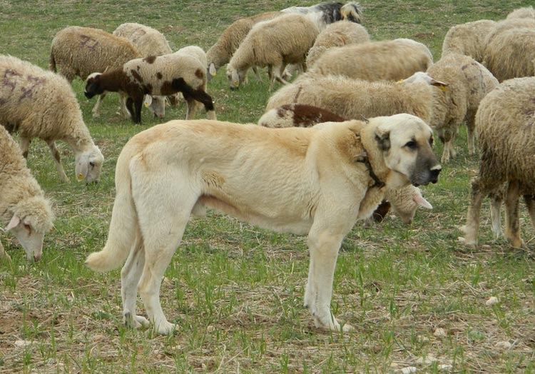 собака поорды кангал
