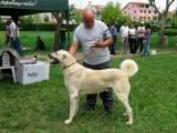 собака породы Кангал