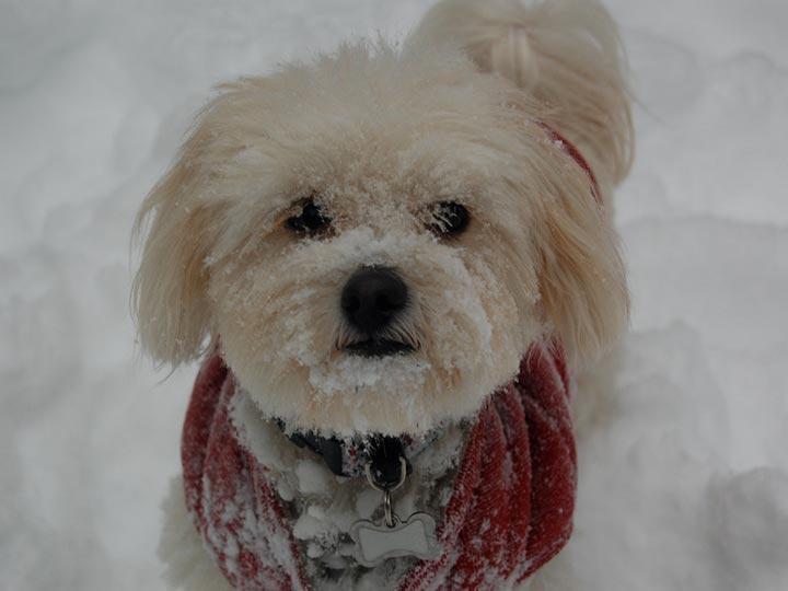 мальтипу в снегу