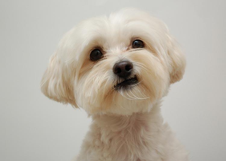 Мальтипу – описание породы собак, фото