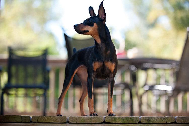собаки породы карликовый пинчер