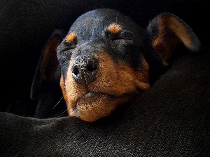 щенок карликовый пинчер