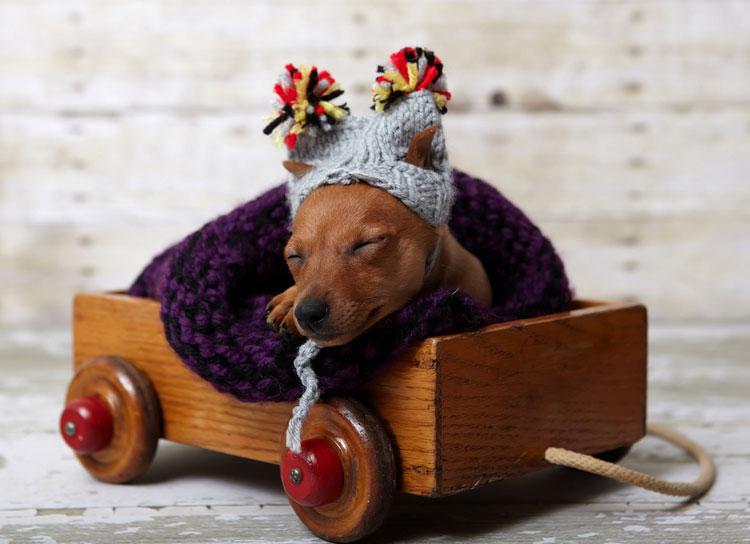 щенок цвергпинчер