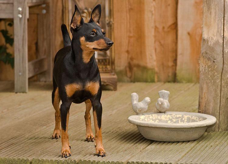 собака породы карликовый пинчер