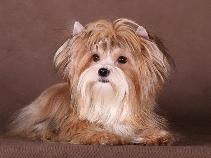 новая порода собак руская салонная