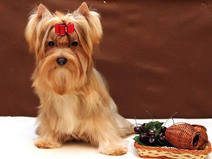 русская салонная собака цена