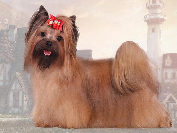 как выглядит русская салонная собака