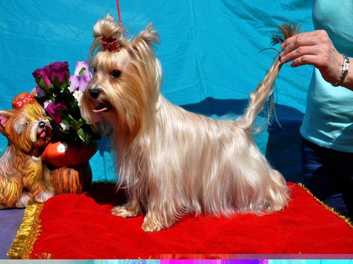 русская салонная собака отличия от йорка