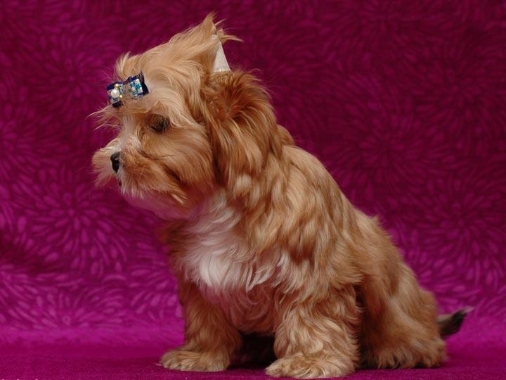 щенок русская салонная собака