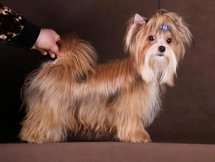 русская салонная собака фото